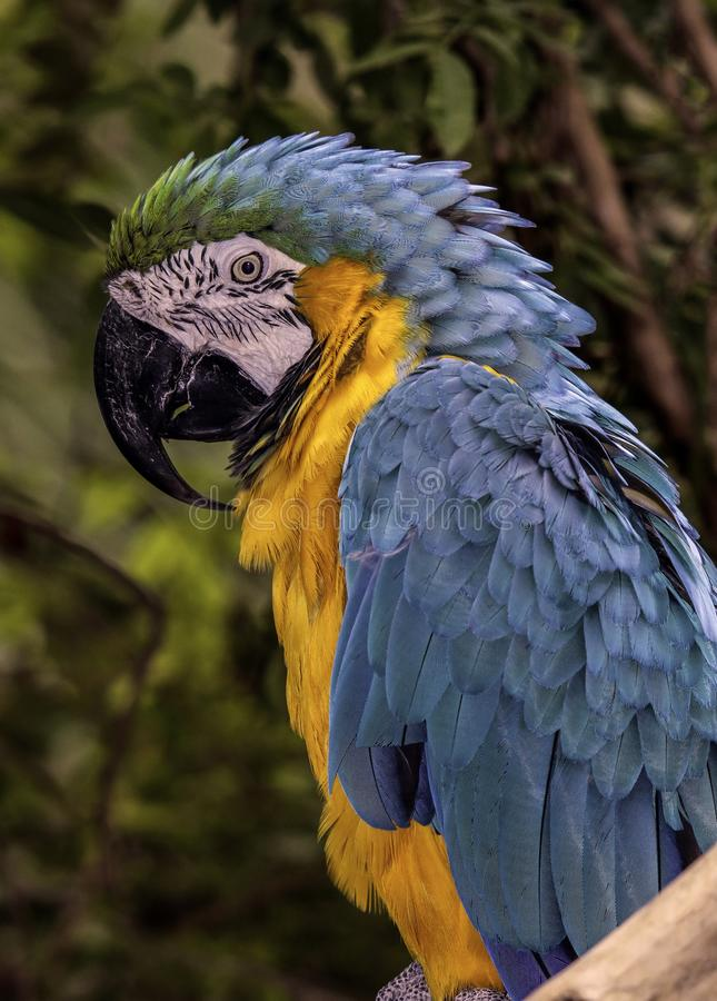 Macaw Parrot. Blue And Gold Parrot Close Up Portrait With Dark Background stock image