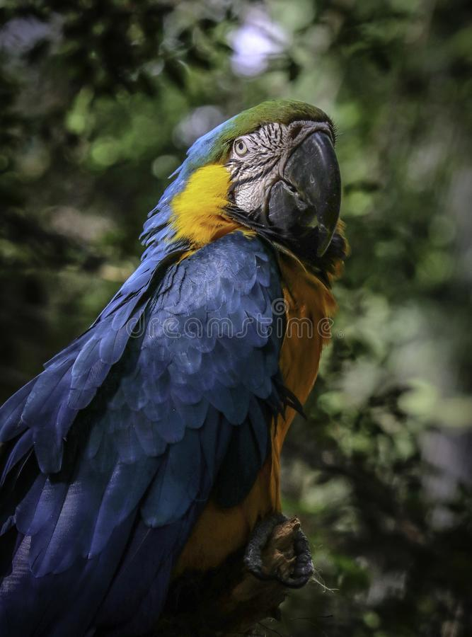 Macaw Parrot. Blue And Gold Parrot Close Up Portrait With Green Background stock images