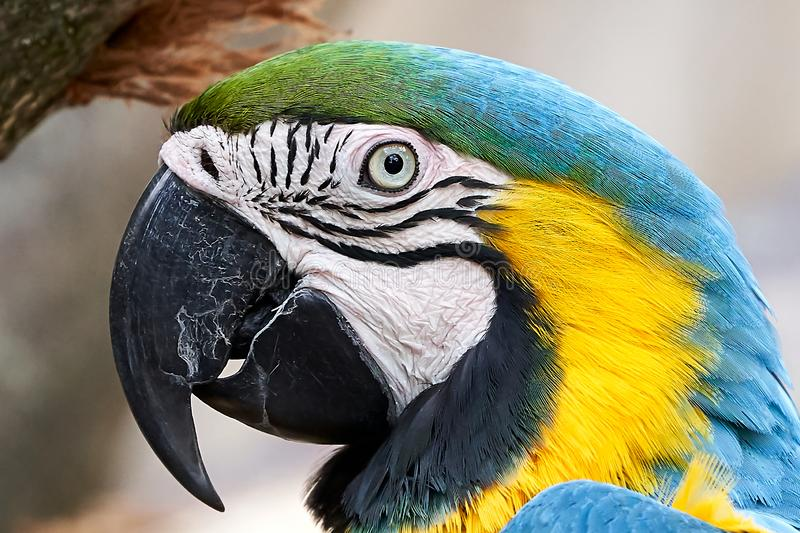 Macaw Parrot Blue Yellow closeup portrait royalty free stock image