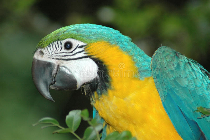 Macaw parrot. A colorful profile head portrait of a blue and gold macaw parrot (ara ararauna) staring
