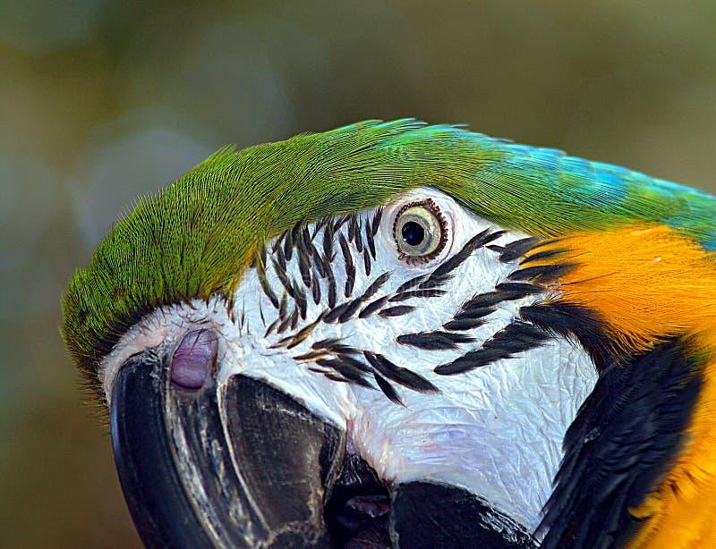 Macaw parrot face stock photos