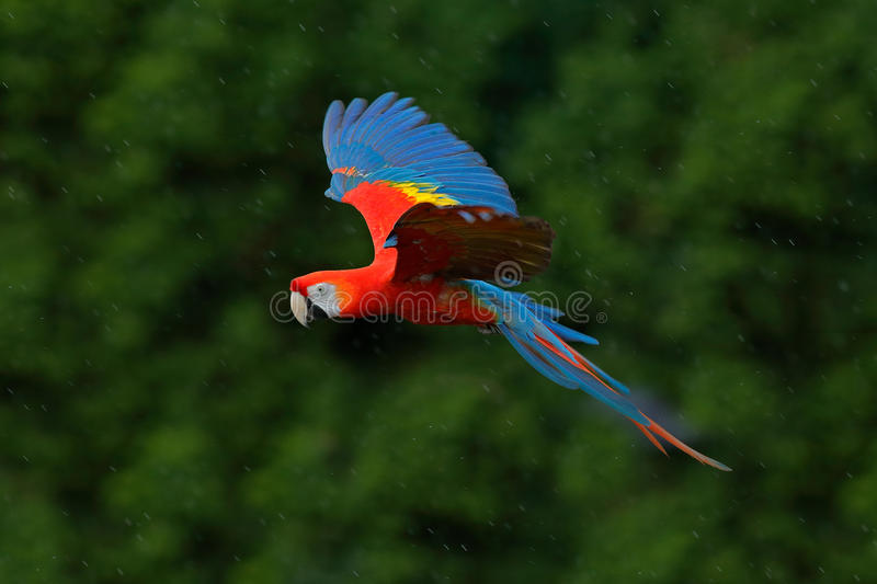 Macaw parrot fly in dark green vegetation. Scarlet Macaw, Ara macao, in tropical forest, Costa Rica, Wildlife scene from tropic na. Ture stock photo