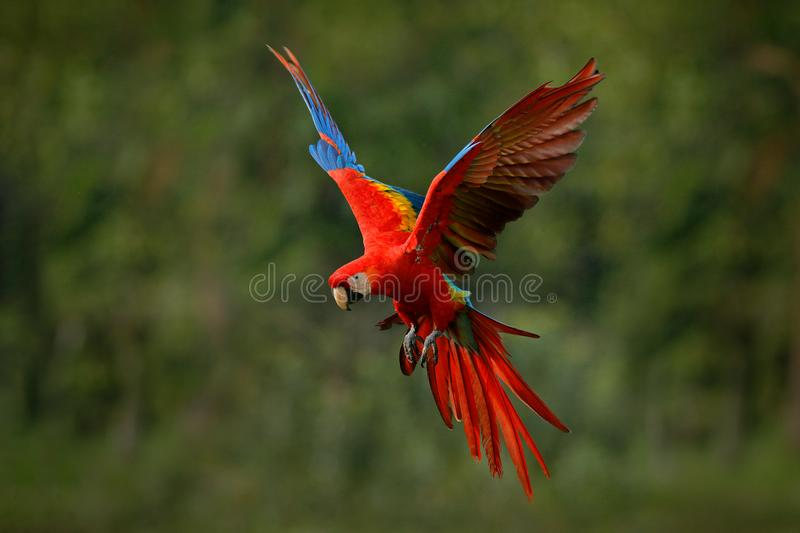 Macaw parrot flying in dark green vegetation with beautiful back light and rain. Scarlet Macaw, Ara macao, in tropical forest,. Costa Rica. Wildlife scene from royalty free stock photos