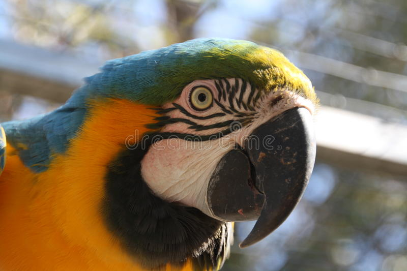 Macaw Parrot. The head of a Macaw Parrot in close-up royalty free stock image