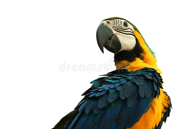 Macaw parrot isolated on white background : Closeup. Macaw parrot isolated on white background : Close up stock photo