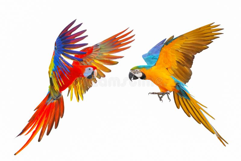 Macaw parrot isolated in white background. royalty free stock images