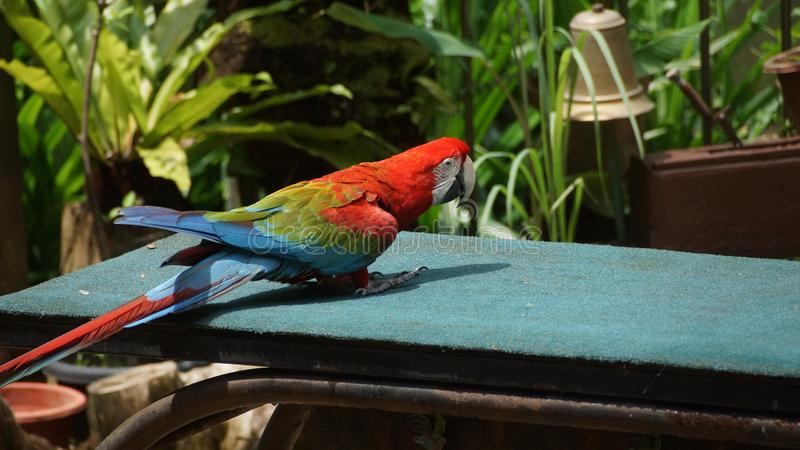 Macaw or parrot parakeet royalty free stock photo