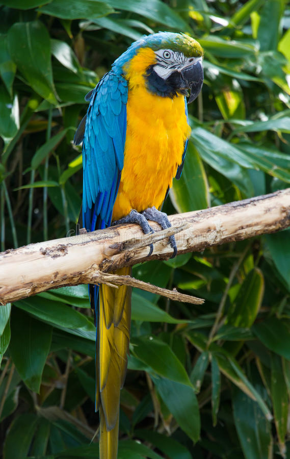 Macaw Parrot, Psittacidae Orthopsittaca, perched on a branch. Blue and orange plumage, Psittacidae Orthopsittaca, Macaw Parrot perched stock photography