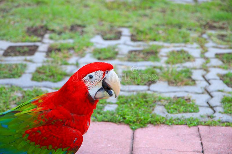 macaw parrot, red - green colorful beautiful in public park select focus with shallow depth of field royalty free stock photography