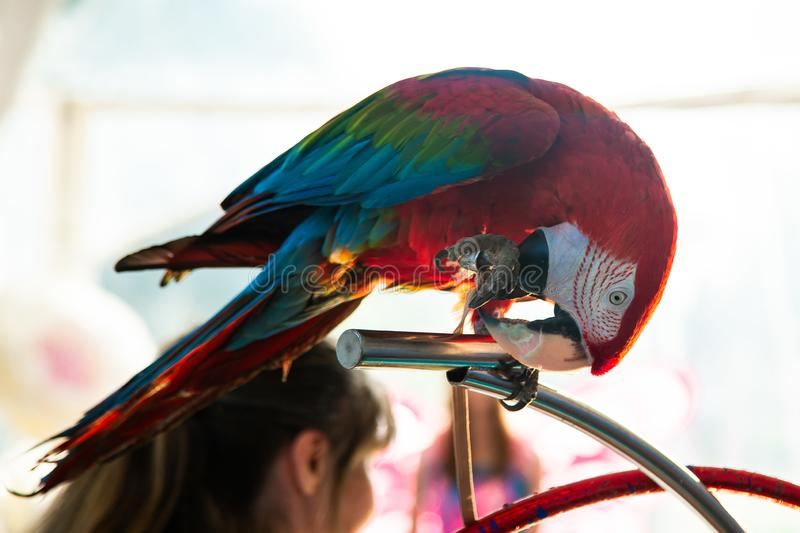 Macaw parrot sitting on the perch royalty free stock image