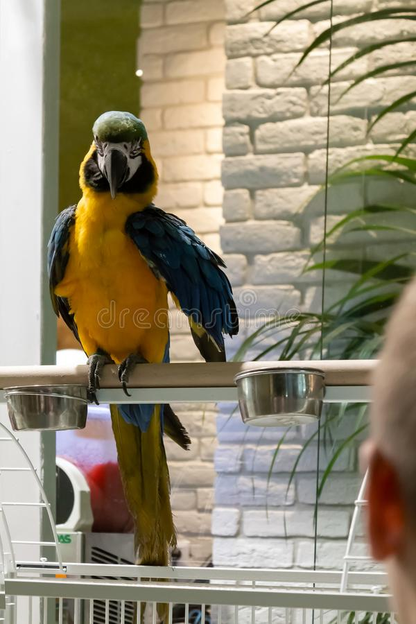 Macaw parrot on the street by night. Macaw parrot on the street, out of the cage,  posing for photos stock photo