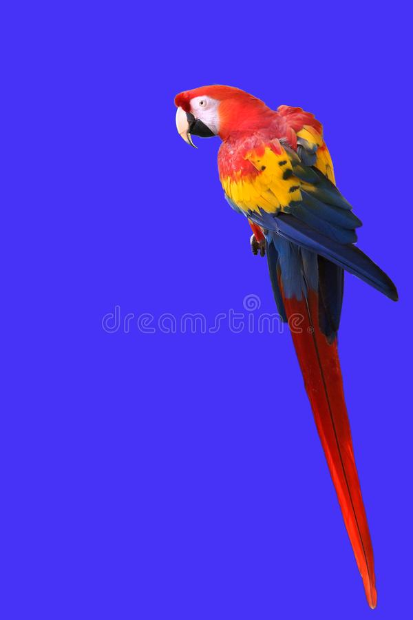 Macaw Parrot Vertical with Copy Space stock photo