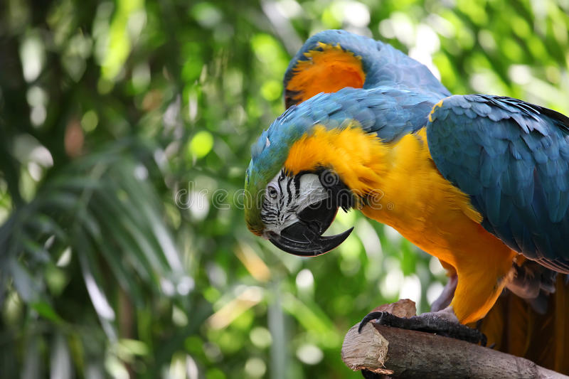 Macaw parrot with yellow and blue feathers stock photos