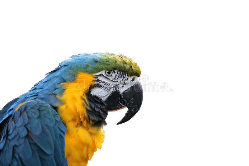 Macaw or parrot with yellow and blue feathers royalty free stock images