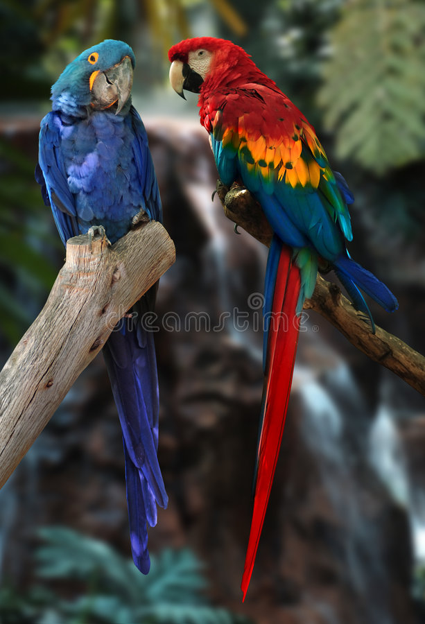 Macaw parrots. Hyacinth macaw and red and gold macaw parrots stock photos