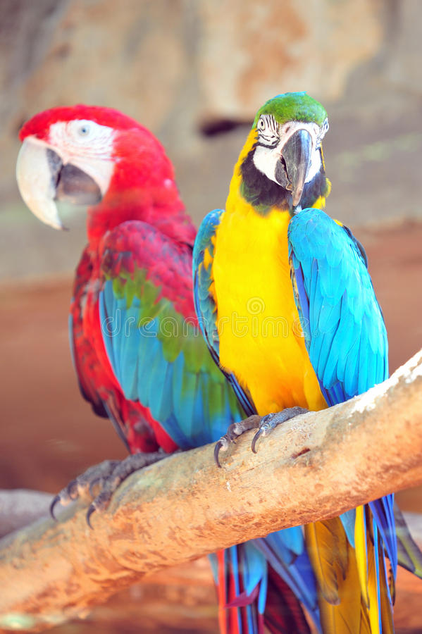 Macaw Parrots. Blue Red and yellow Macaw Parrots in Jerusalem Biblical Zoo, Jerusalem Israel stock image
