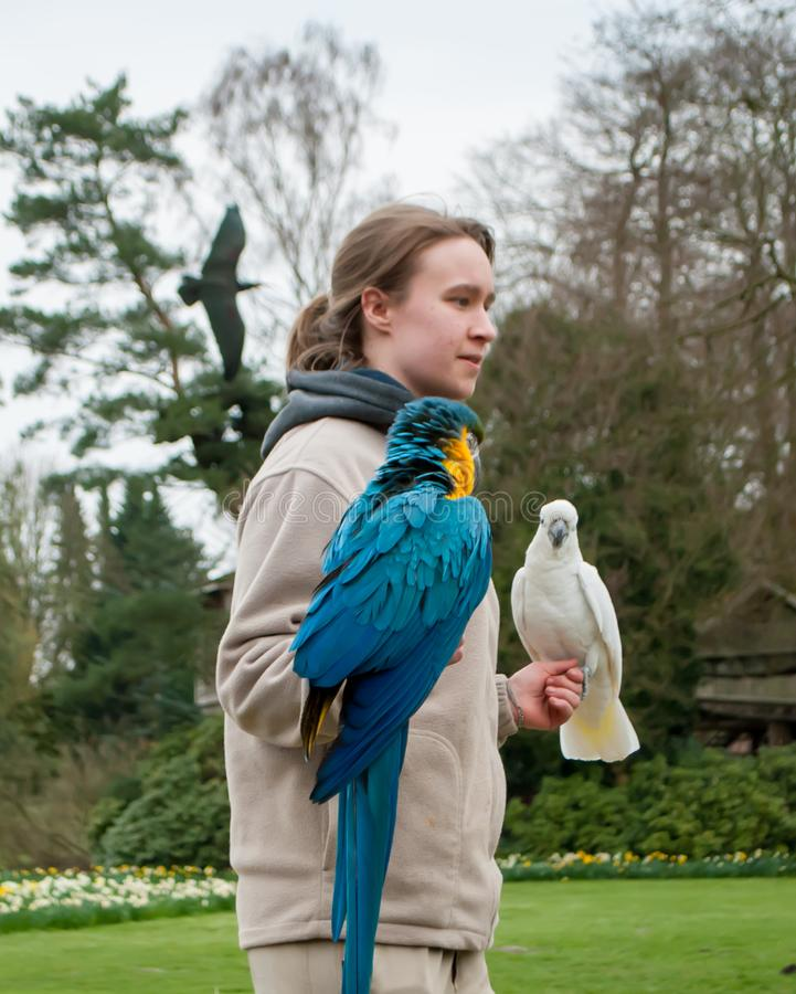 Macaw parrots, blue-yellow and white, sitting on the hand of a female bird show royalty free stock photo