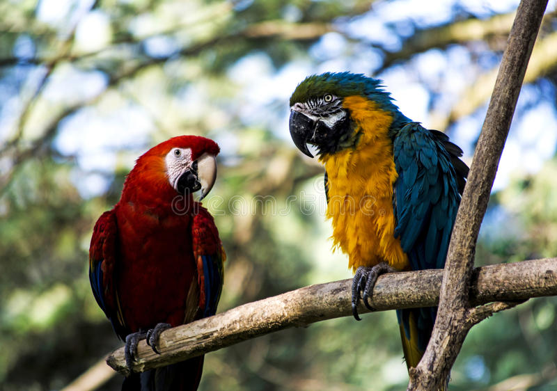 Macaw parrots. Pair of colorful macaw parrots stock image