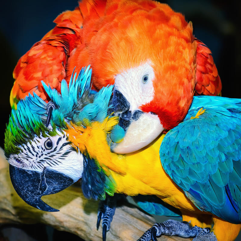 Macaw Parrots. Portrait of Two Macaw Parrots royalty free stock images