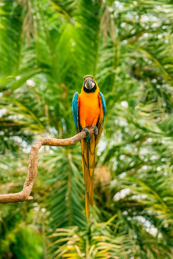 Macaw parrots sitting on a branch. Colorful macaw parrots sitting on a branch in the jungle stock images