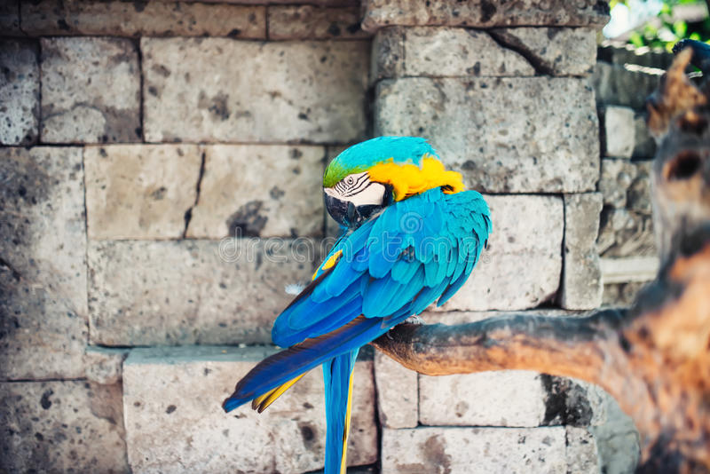 Macaw parrots in the wild tropical jungle, stones in background. ara ararauna parrot in the wild. Macaw parrots in the wild with tropical jungle stones in royalty free stock photography