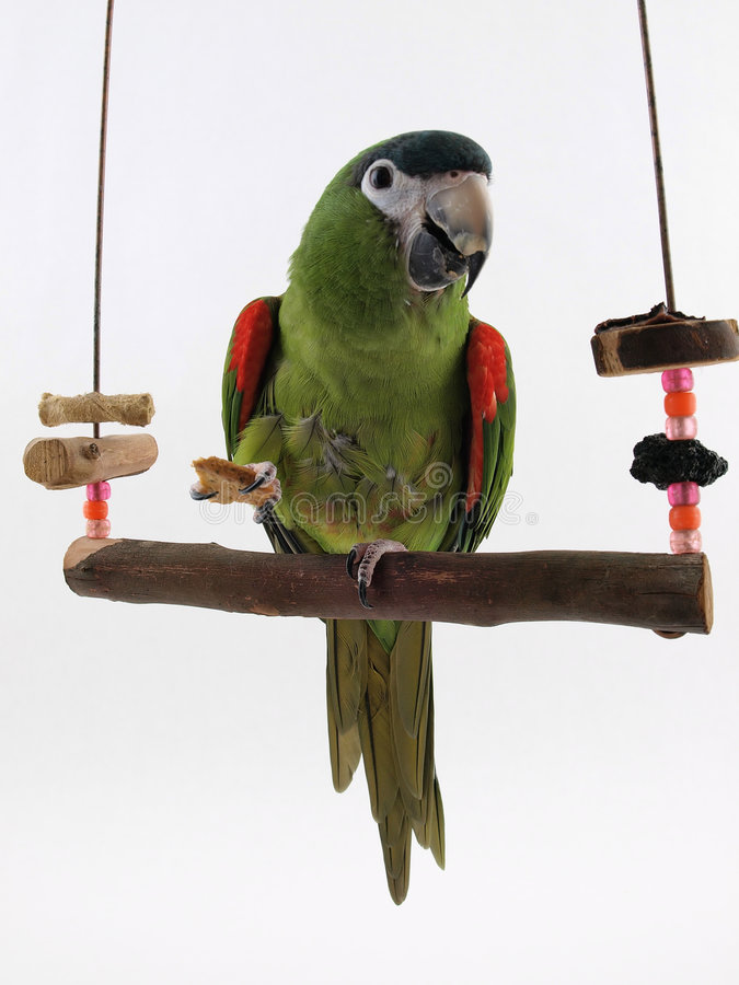Macaw on a Perch. Miniature Noble Macaw on an isolated white background, eating a cracker stock photo