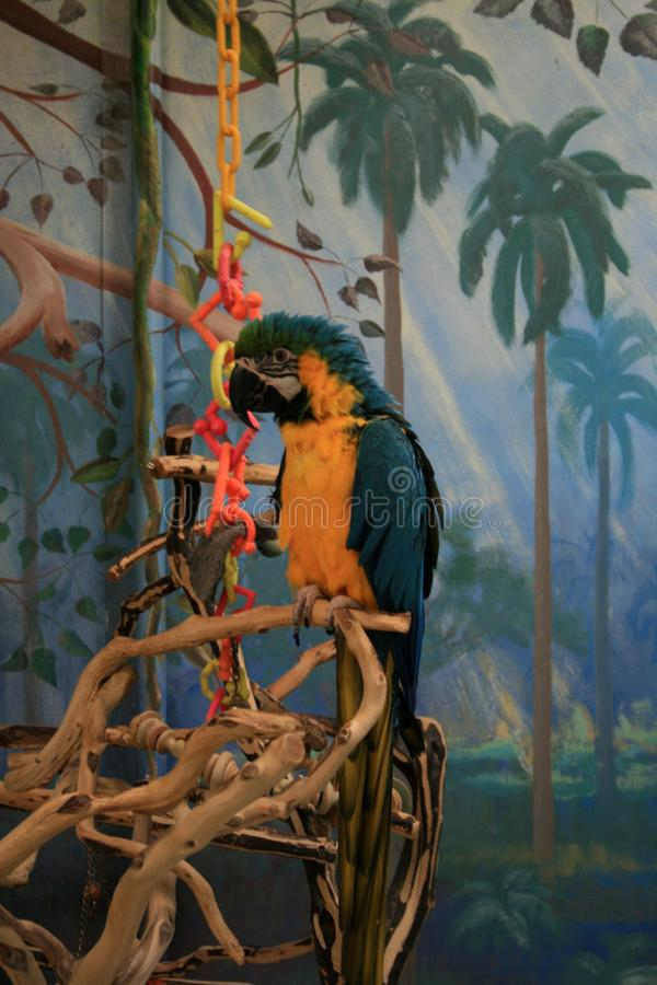 Macaw in a pet store in Denver. Blue-and-Yellow Macaw in a pet store in Denver. The parrot sits in the aviary with toys and a branch stock image