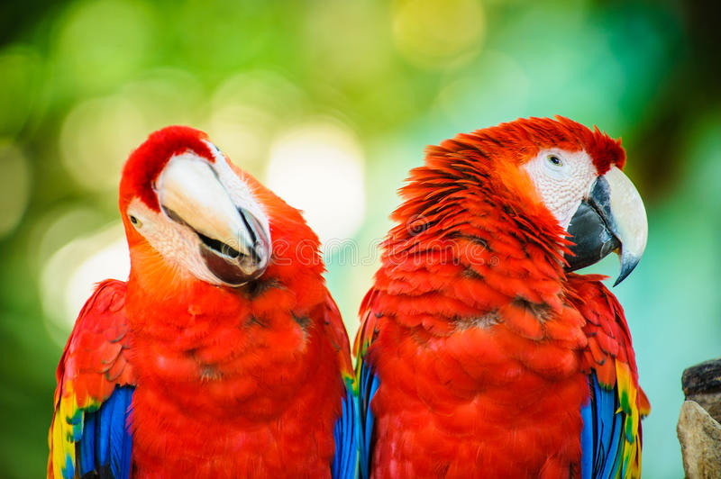 Macaw portrait. Couple of aras in Mexico, Macaw portrait stock photography