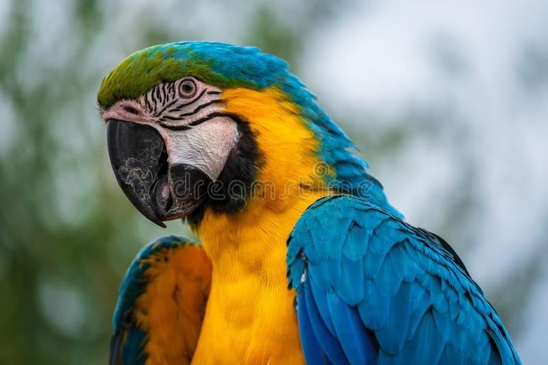 Macaw posing royalty free stock photography