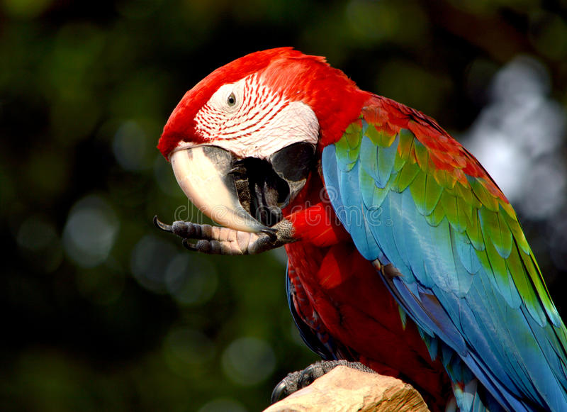 Macaw. Poultry is a family Psittacidae Macaw is a large bird family hookworm. Popular culture because the colors are beautiful, tame and could imitate people stock photography