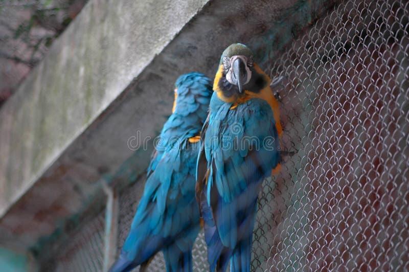 macaw-Psittacidae del escarlata fotografía de archivo
