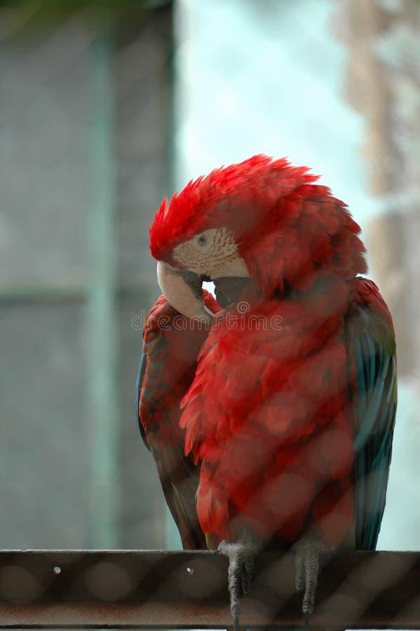 macaw-Psittacidae del escarlata imágenes de archivo libres de regalías