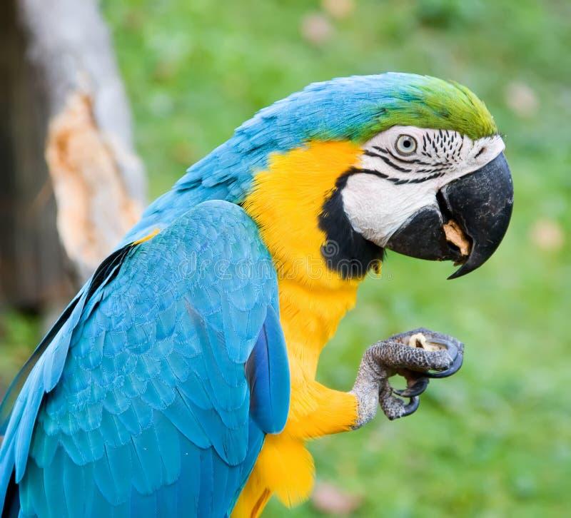 Macaw que come uma porca fotografia de stock