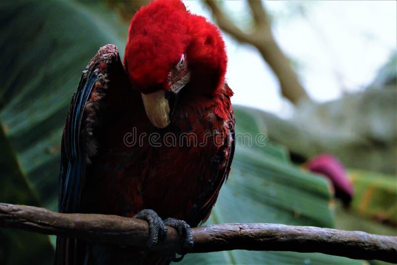 Macaw que muda imagenes de archivo