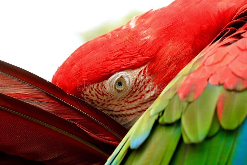 Macaw. Rainbow Macaw, Parrot, Macaw, Exotic Bird, Parrot Species stock image