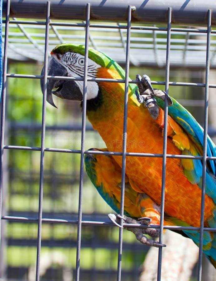 Macaw rescatado en jaula foto de archivo libre de regalías