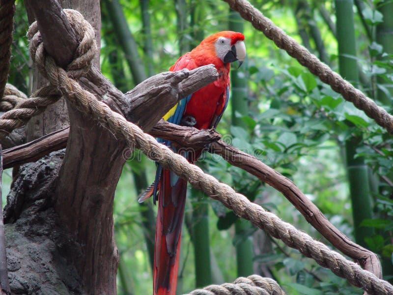 Macaw rojo foto de archivo libre de regalías