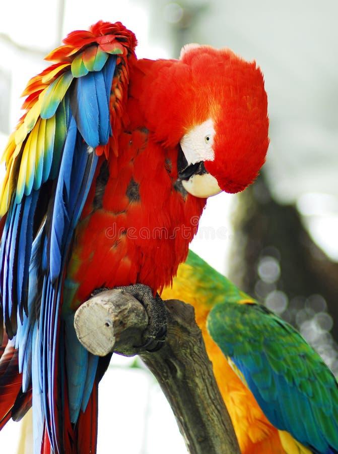 Macaw rojo aislado foto de archivo