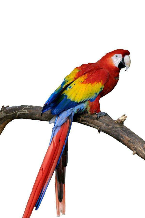 Macaw rojo aislado (petición) foto de archivo libre de regalías