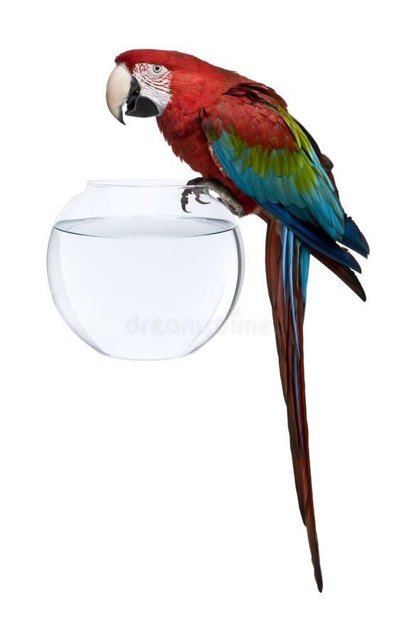 Macaw Rojo-y-verde, colocándose en el tazón de fuente de los pescados