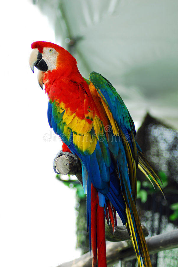 Macaw rouge d'isolement images libres de droits