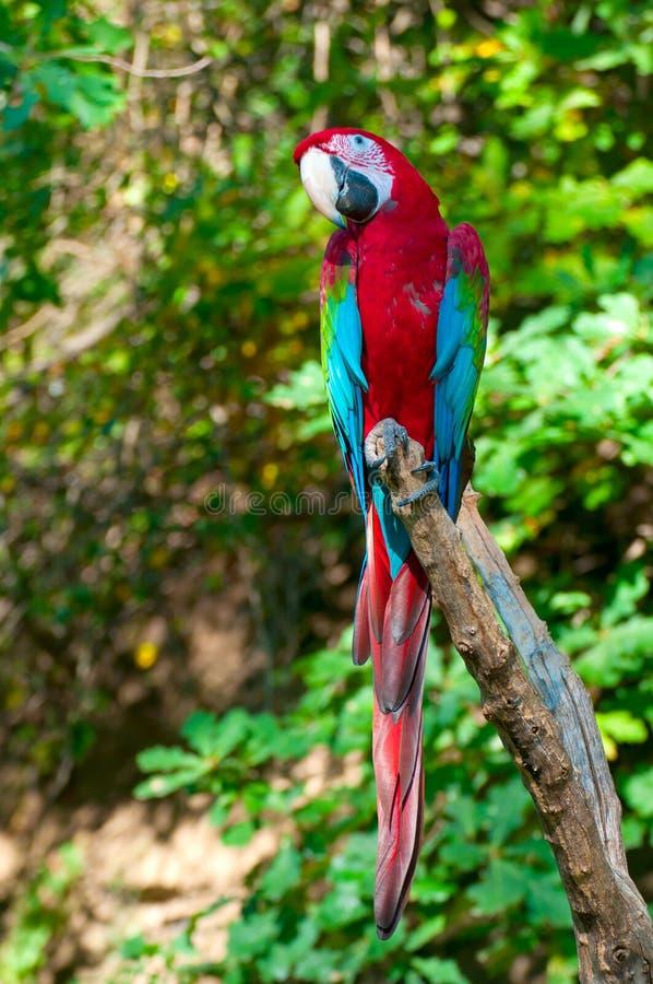 Macaw Rouge-et-vert photo stock