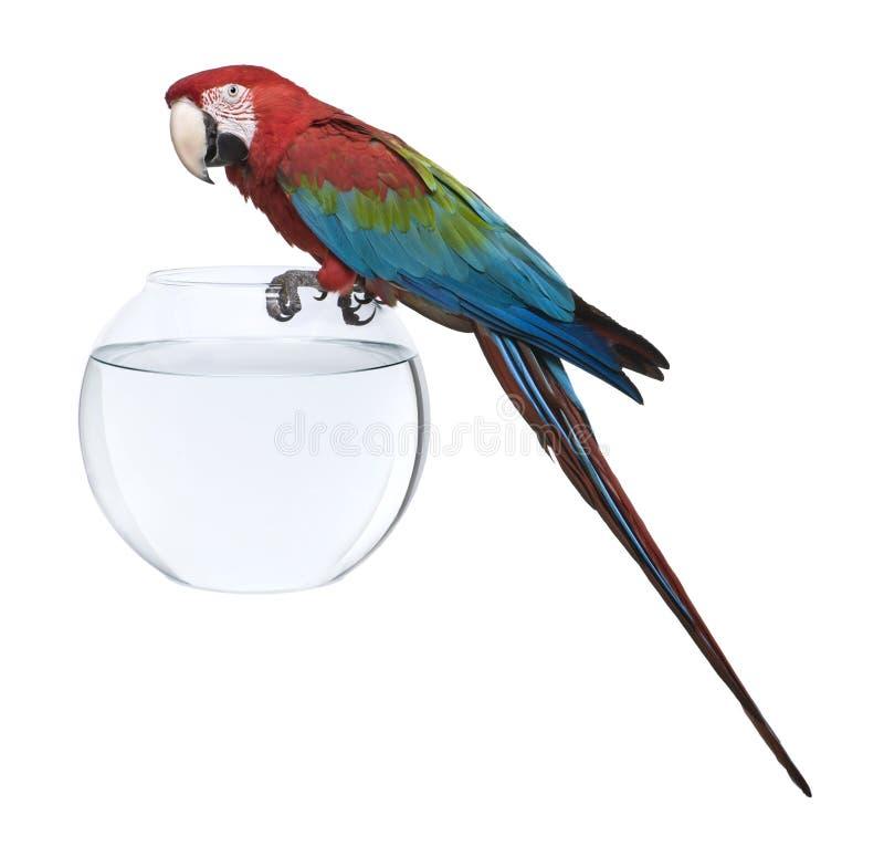 Macaw Rouge-et-vert, restant sur la cuvette de poissons