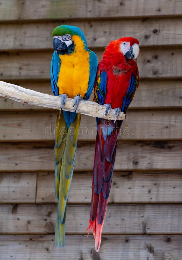 Macaw scarlet and blue-and-yellow parrots, long-tailed colorful exotic birds. Close up stock photography