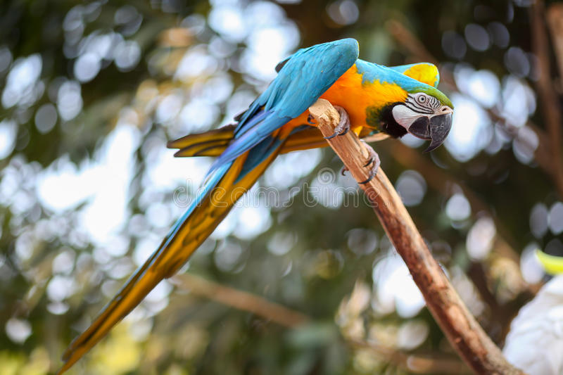 Macaw. A single Macaw on a tree branch stock images