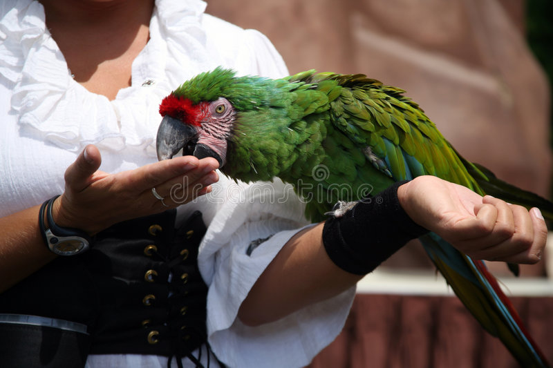 Macaw with trainer royalty free stock photography