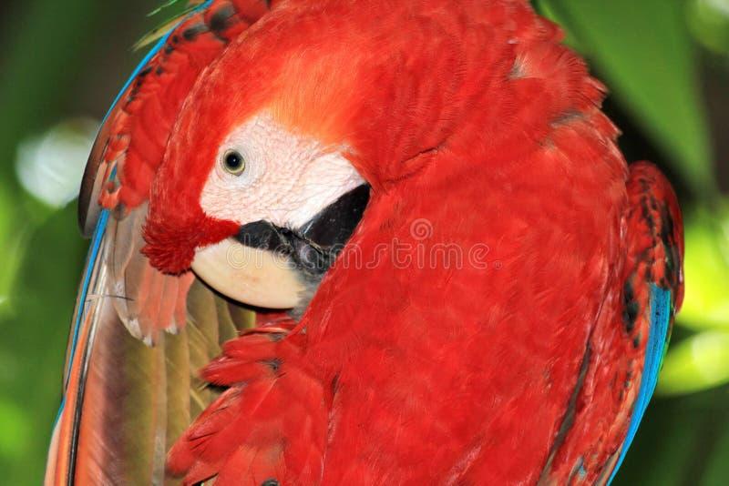 macaw Verde-con alas (chloropterus del Ara) foto de archivo