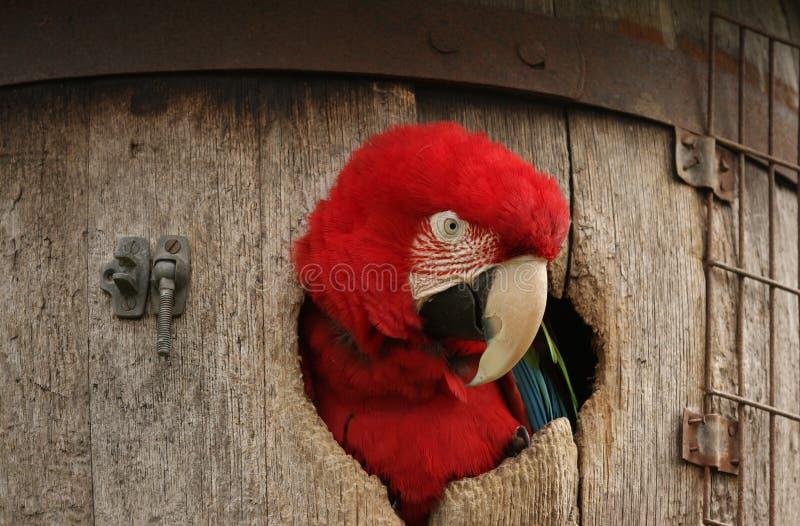 Macaw verde del ala en barril imagen de archivo