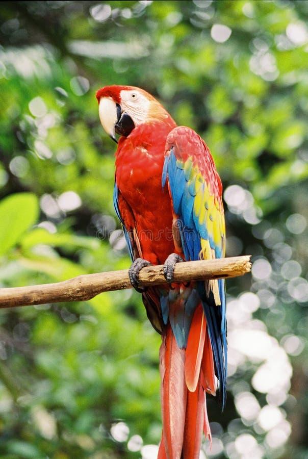 Macaw vermelho imagem de stock