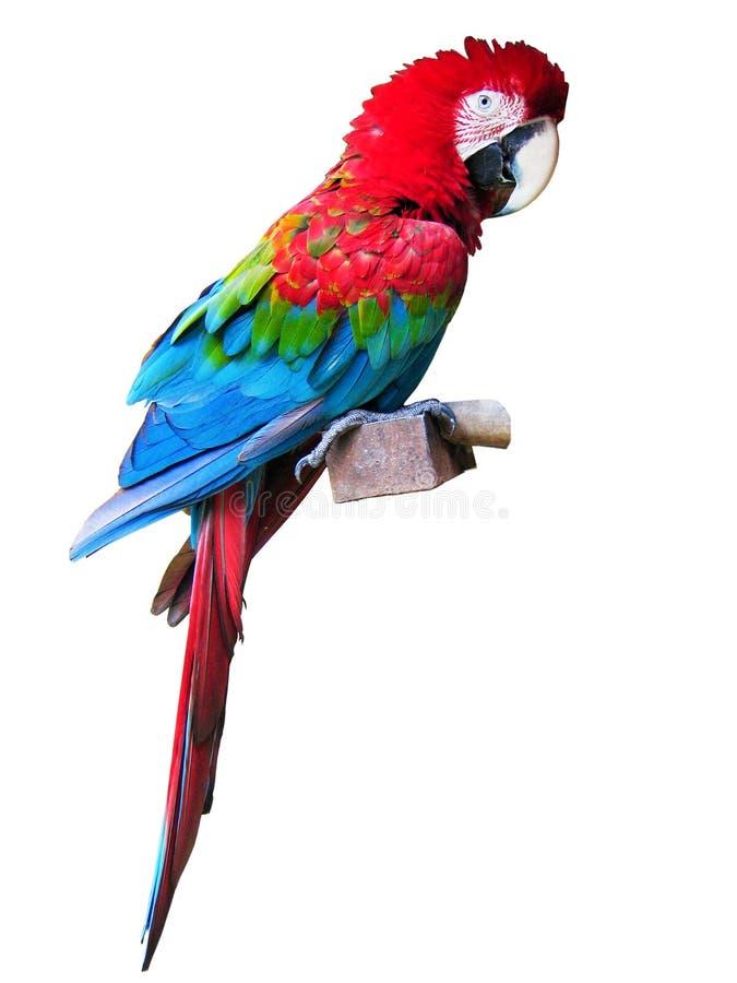 Macaw vermelho com trajeto de grampeamento fotografia de stock royalty free
